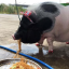 """Junior, the 8-month-old pet """"mini-pig"""", enjoys a meal of fried noodles from her own, special tray. Photo: @Pigjuniorr Facebook page"""