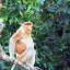 Proboscis monkeys resting along the Kinabatangan river, one of the last strongholds for the population in Sabah. Photo: Rudi Delvaux/DGFC/SWD