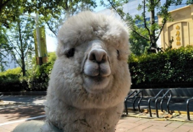 Injured alpacas and tortoises in labour: life as a vet for