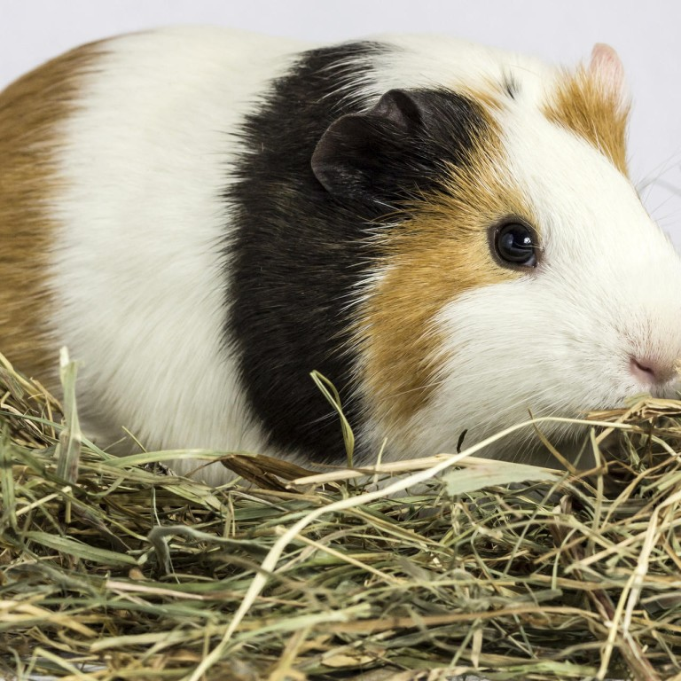 Fascinating facts about cats, rabbits and guinea pigs