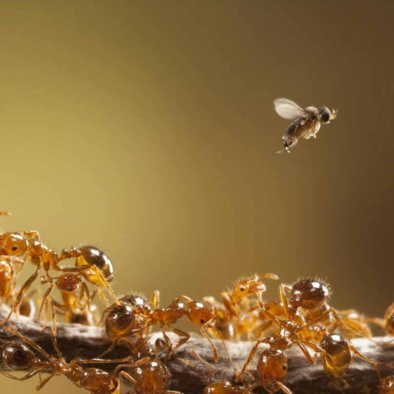 Zombie Ants Viruses And A Parasite How Us Fights Insect Invaders South China Morning Post