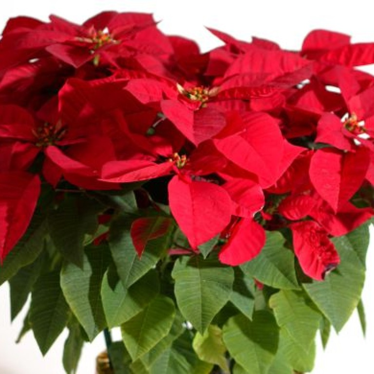 Why Is The Poinsettia So Popular In Hong Kong South China