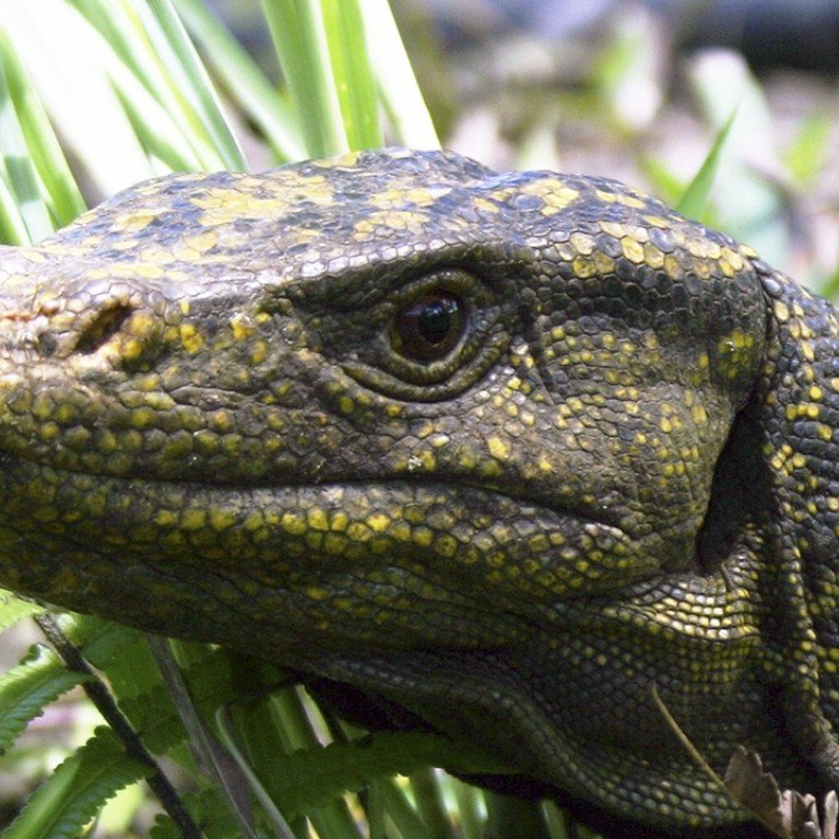 Once believed extinct, Hong Kong's giant lizards return to the wild