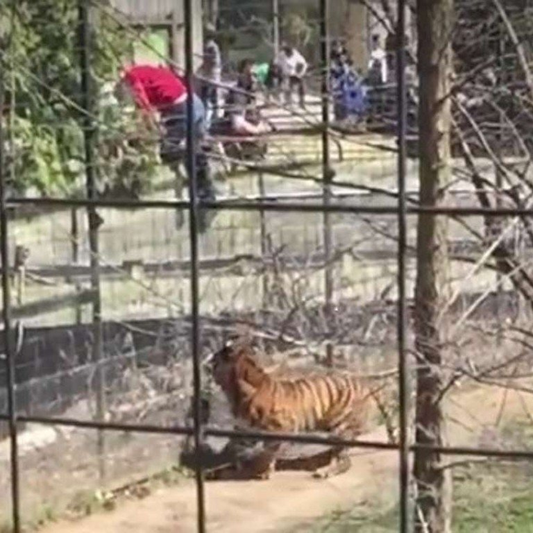 WATCH: Crazy hat lady jumps into Toronto Zoo tiger enclosure