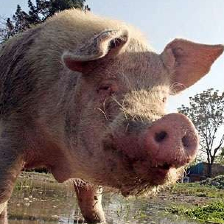 d2b0d2839d8ab2 Meet Khanzir, the only pig in Afghanistan - and perhaps the loneliest swine  in the world | South China Morning Post