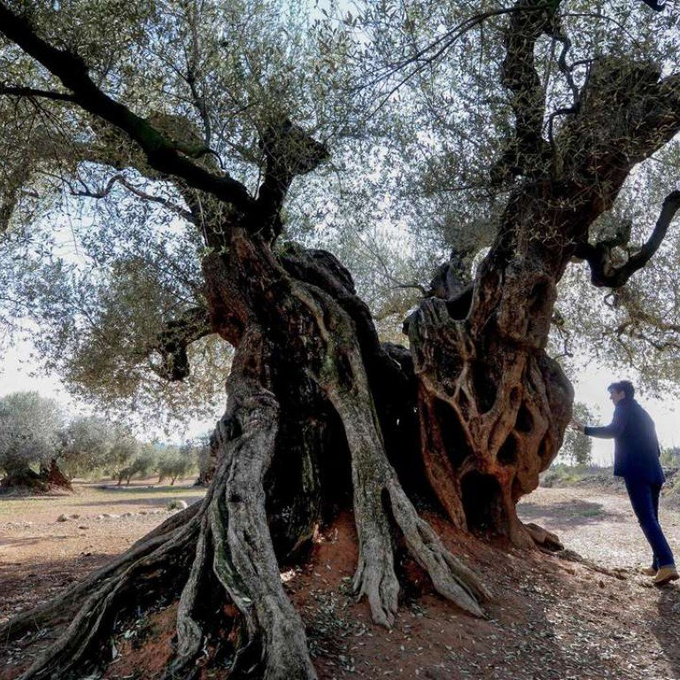 These Ancient Olive Trees In Spain Are Gaining Worth Beyond Their