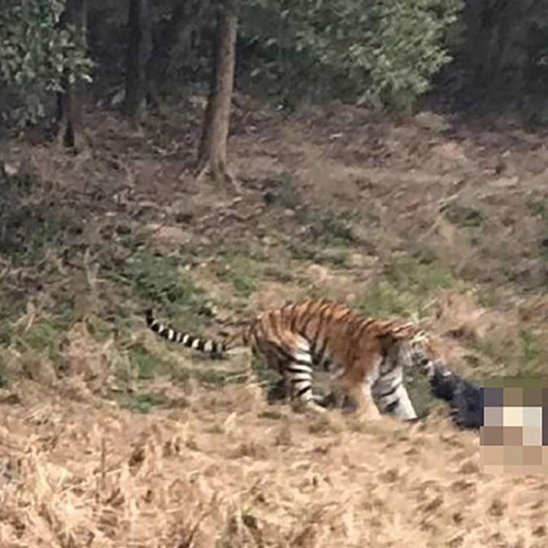 A Tiger Drags The Man Away At Ningbo Youngor Zoo Photo Supplied