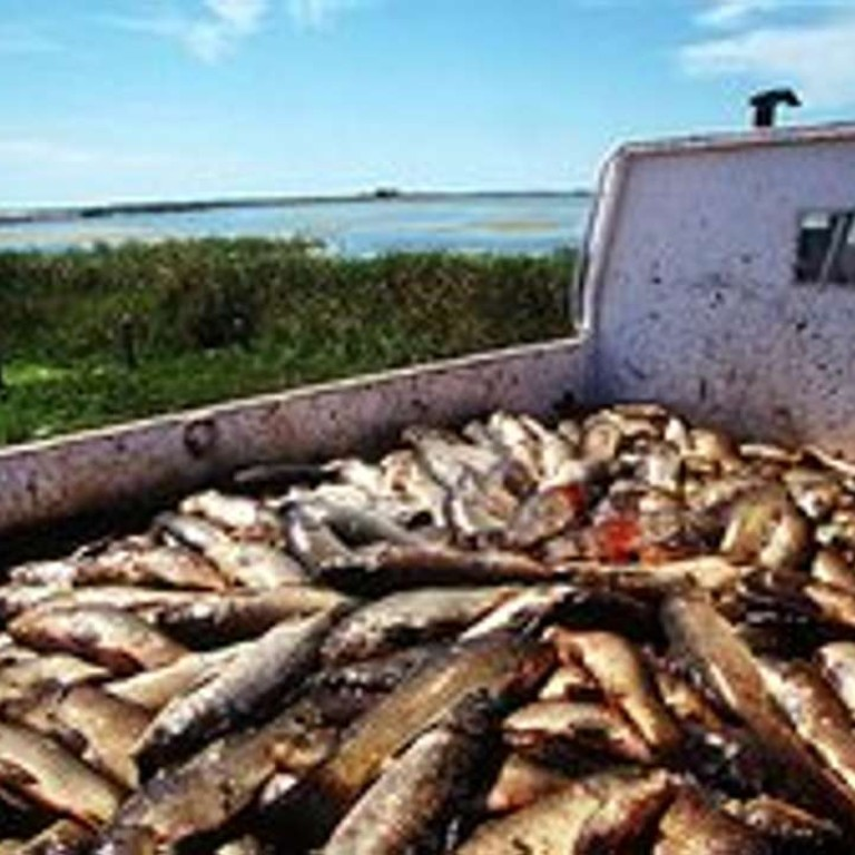 Australia's plan to eradicate carp using the herpes virus is