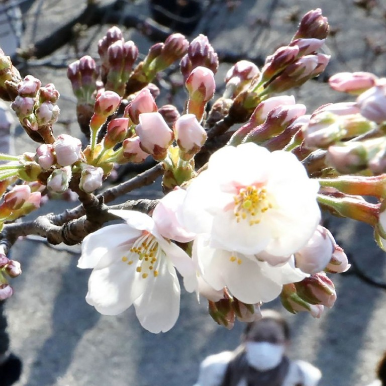 Japanese Cherry Blossom Season Is Here But Trees Could Be Wiped
