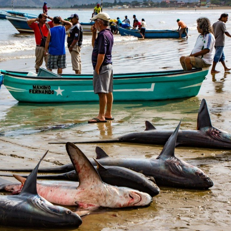 War on sharks: Chinese demand for fins driving rogue fishing
