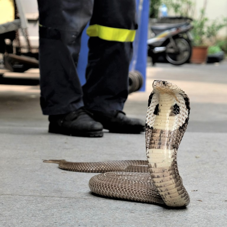 high fashion hot sale cute cheap The Bangkok firefighter catching snakes that invade homes in the ...