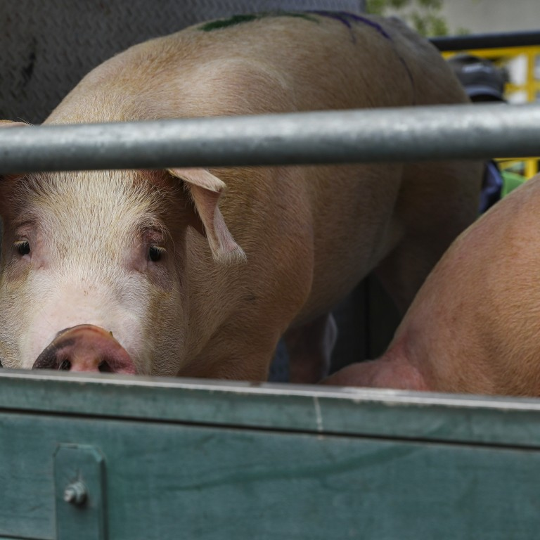 Three Day Suspension Of Live Pig Supplies Unlikely To Affect