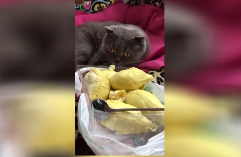 Durian vs cat