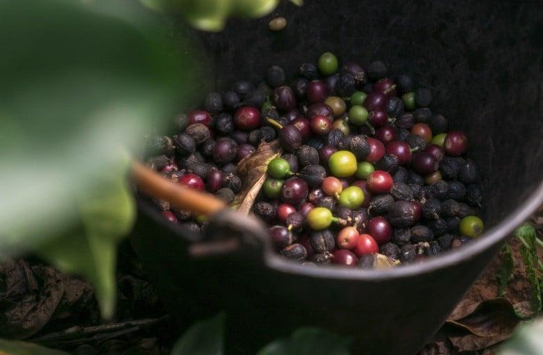 Is coffee taking over in China's tea heartland?