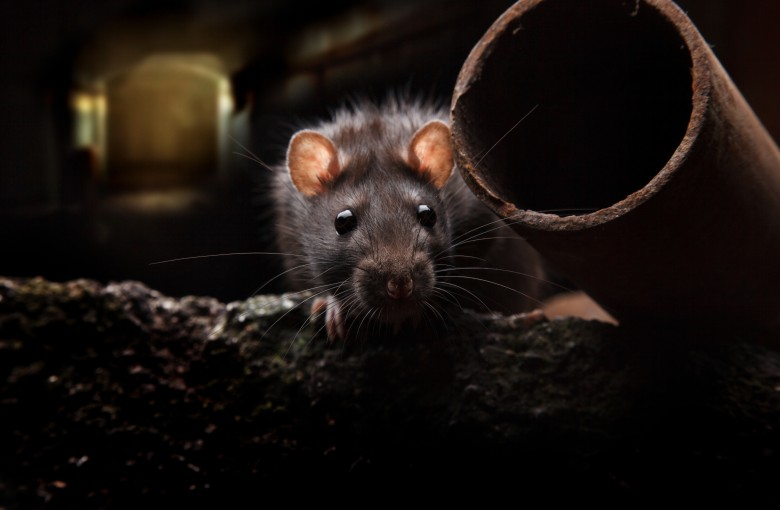 In a world first, a man catches rat hepatitis E