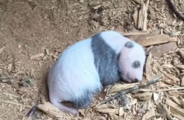 Wild baby panda found in China
