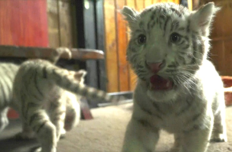Meet these rare white tiger triplets – and their tiger mom