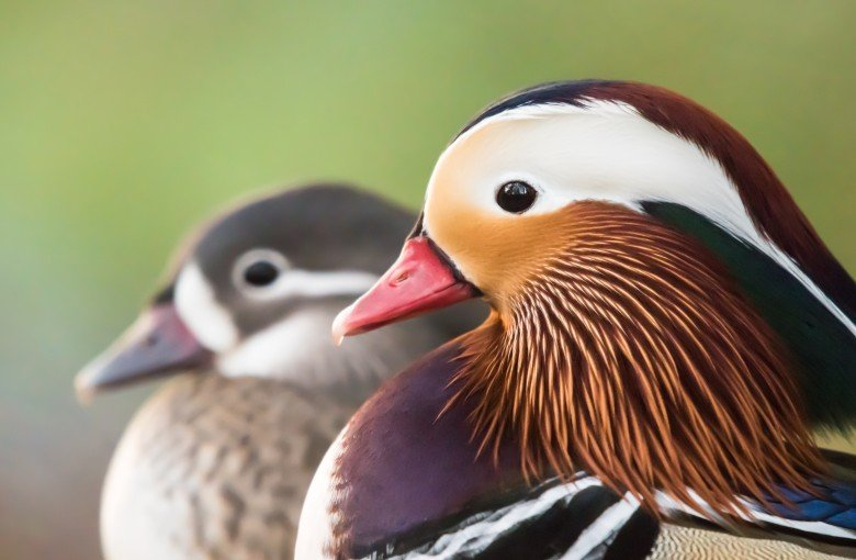5 things to know about the 'romantic' Central Park duck