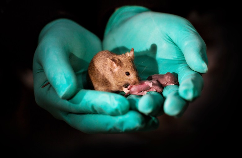 Scientists make a mouse with two mommies