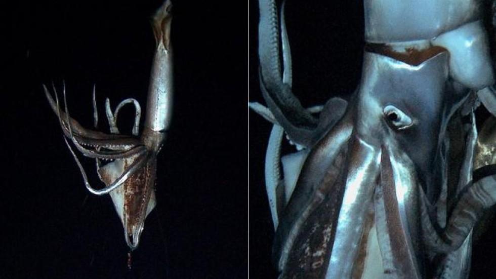 Deep sea giant squid