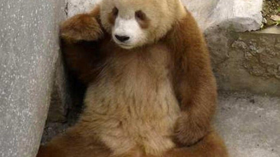 Photos Of Rare Brown Panda In Shaanxi Published South