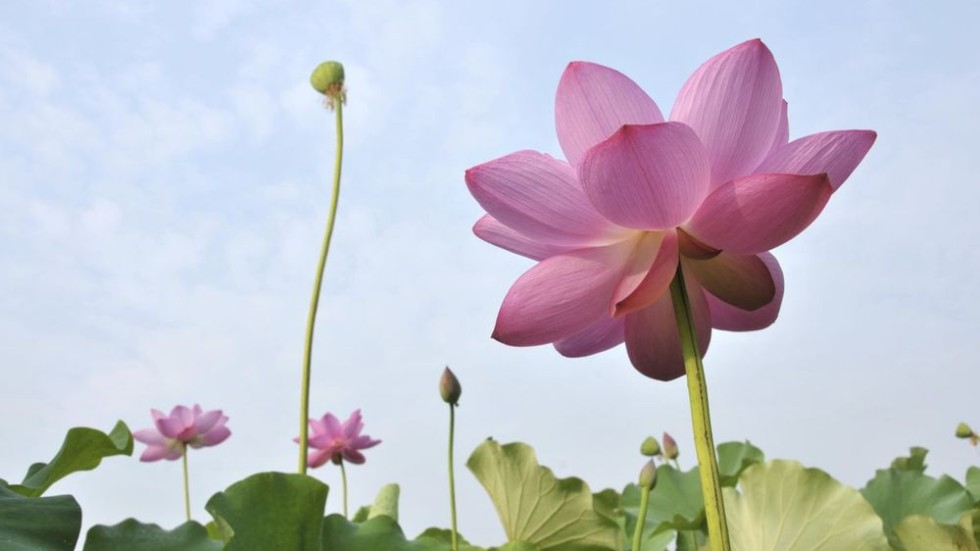 City of the lotus flower south china morning post city of the lotus flower mightylinksfo