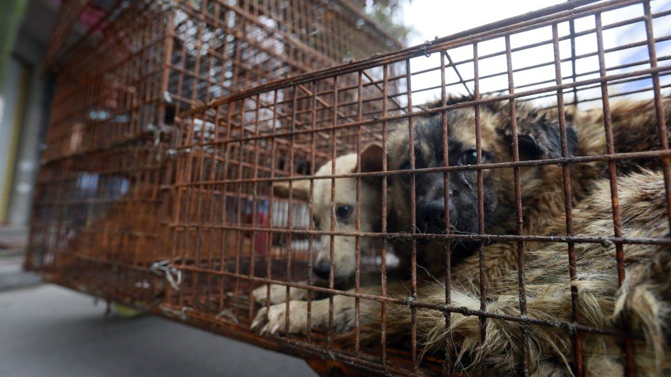 Dog slaughter in the name of 'tradition' shames China ... - photo#38
