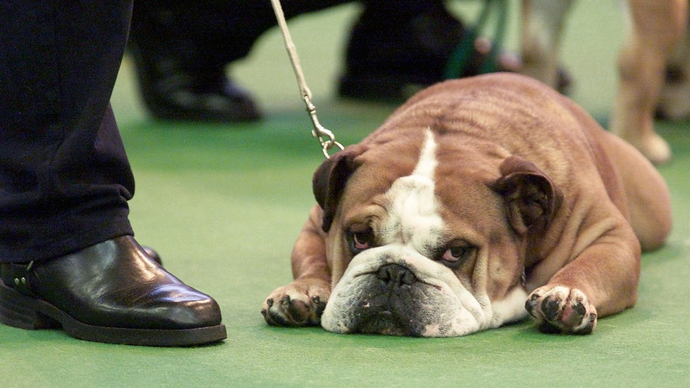 Puppy Fat One Quarter Of Top Uk Show Dogs Are Overweight