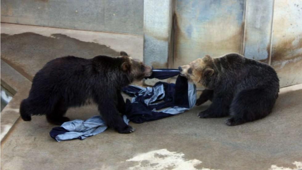 Human Flesh Hair Found Inside Japan Bear After Fatal