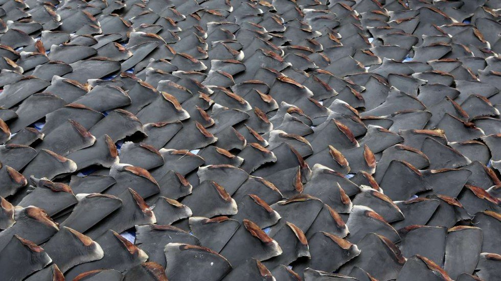 Why Appetite For Shark Fin Continues To Grow Despite