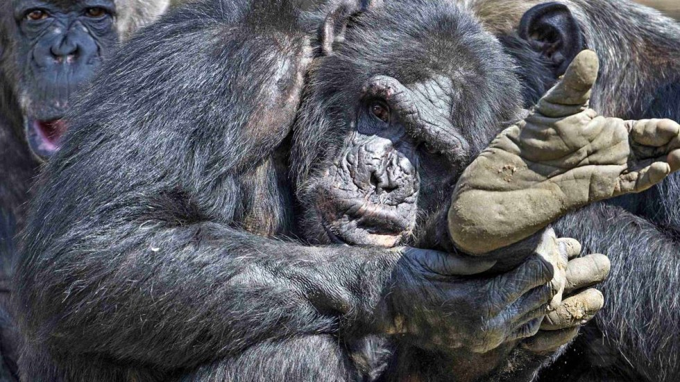 Apes prove it: you don't have to be human to understand what someone else  is thinking