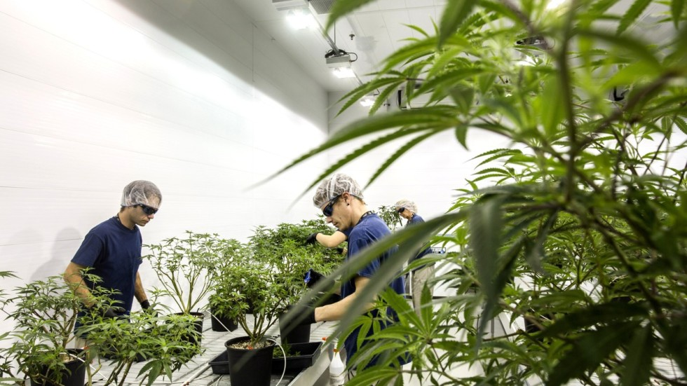 Why Firms In America S Us 8bn Marijuana Industry Can T