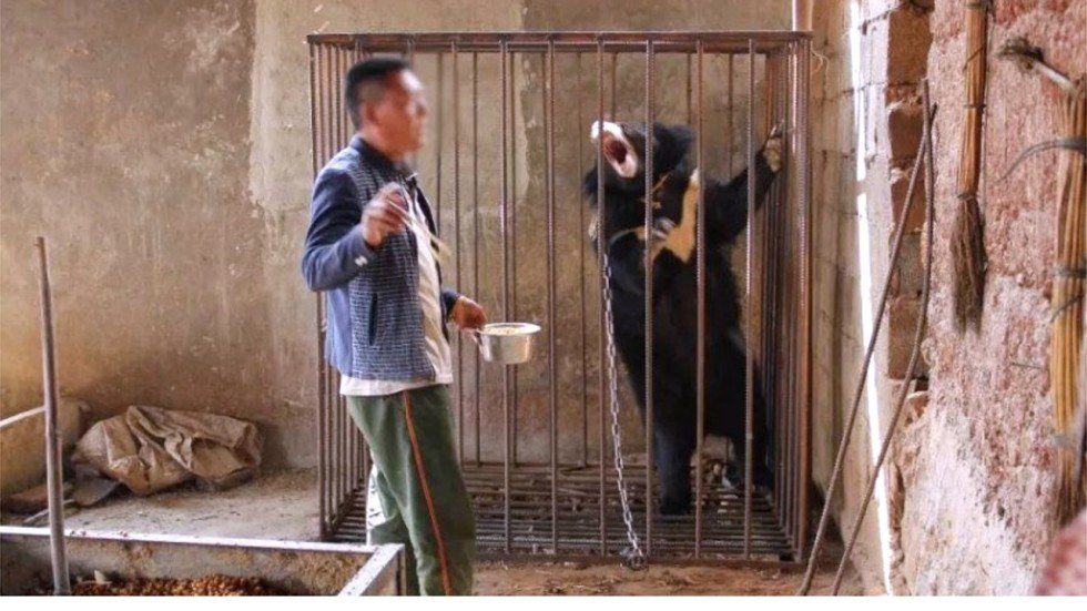Image result for man in china raises black bear