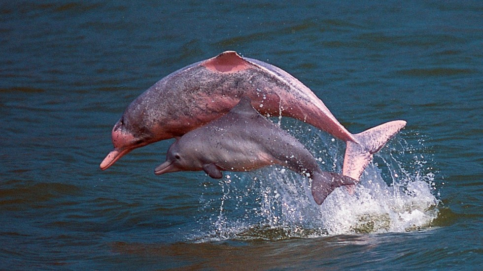 Pearl River Dolphins