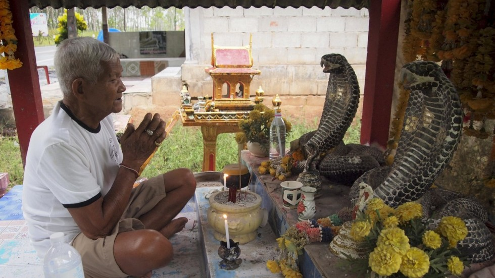 King Cobras In Thailand Why Some Villagers Worship The Snake And