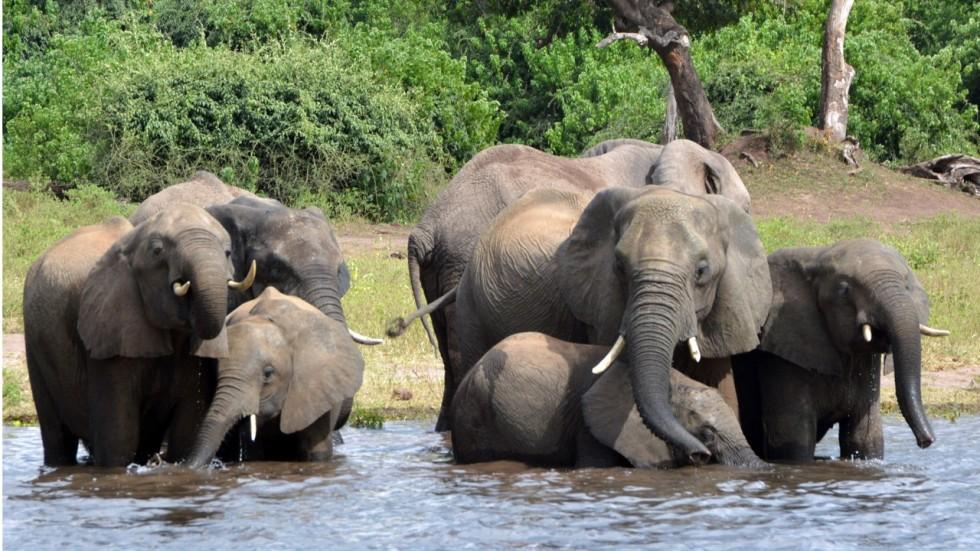 mass poaching massacre nearly 100 elephants slaughtered for ivory