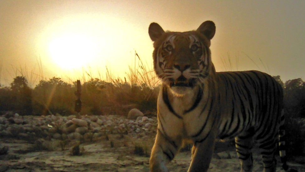 nepal uses thousands of cameras to track wild tigers and finds their