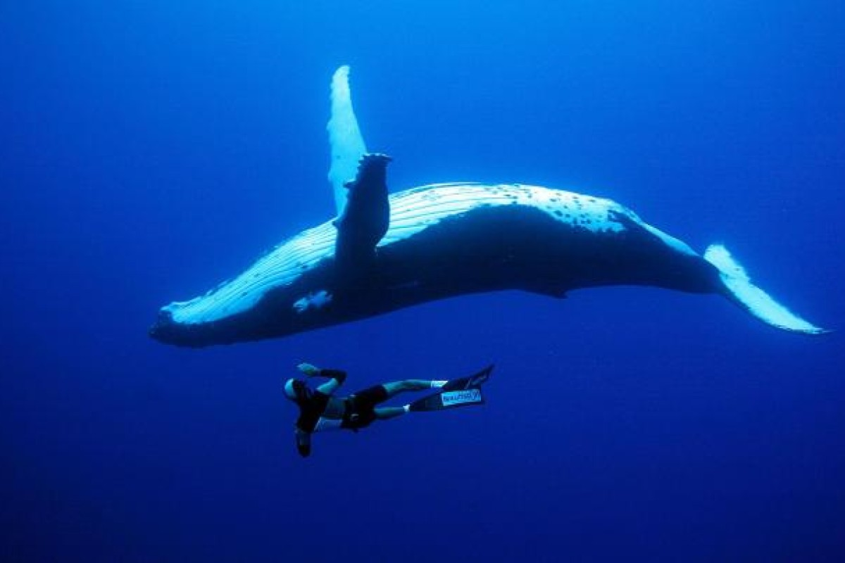 Freediver Yoram Zekri enjoys the company of a humpback whale while diving near Rurutu Island, French Polynesia. Photos: CORBIS, FRED BUYLES/NEKTOS.NET, AFP