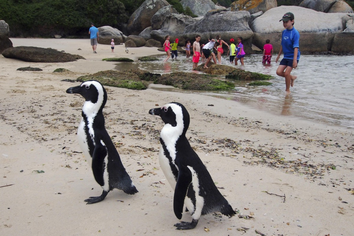 African penguins on a beach near Simon's Town.