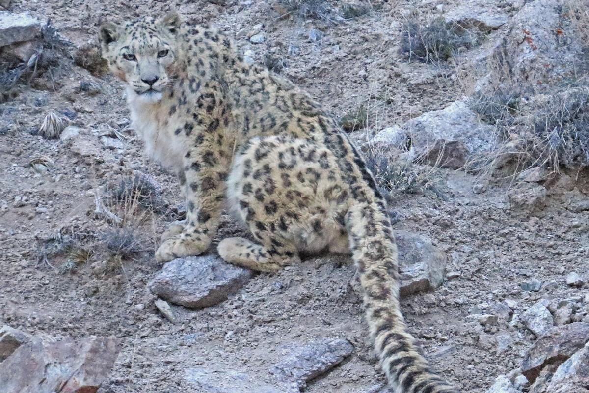 The elusive Ladakhi snow leopard. Photos: Daniel Allen; Snow Leopard Conservancy – India Trust
