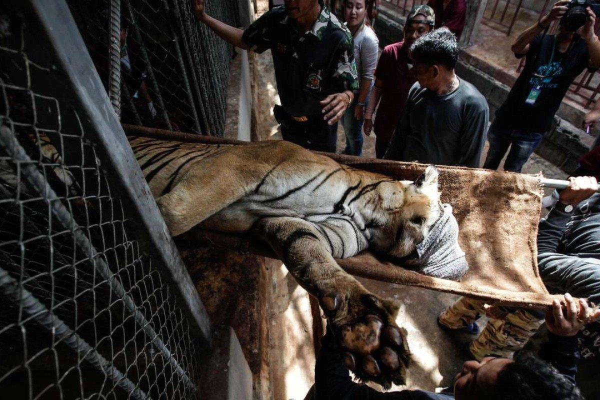 A sedated tiger is removed from Wat Pha Luang Ta Bua, or Tiger Temple, in Thailand's Kanchanaburi province, during the raid in June. Pictures: Dario Pignatelli