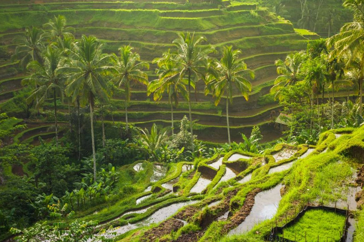 Rice paddies in Bali.