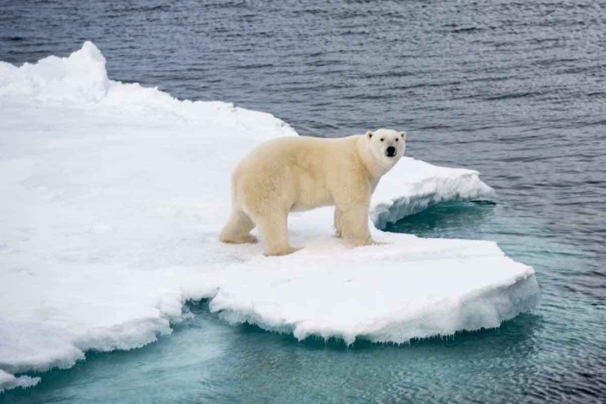 A polar bear on a floating iceberg.