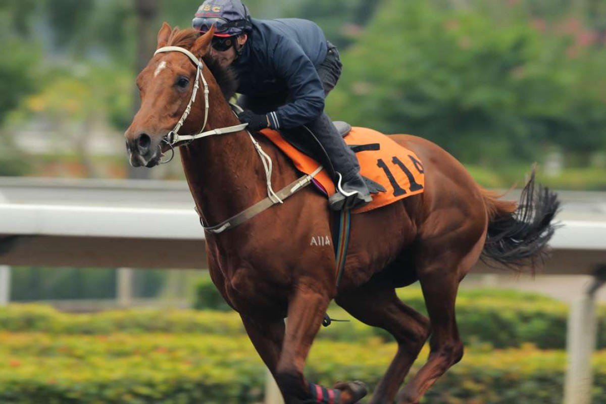 California Whip heads to the dirt for the first time on Wednesday but has shown in trackwork and trials that he enjoys the surface and has a strong dirt pedigree. Photos: Kenneth Chan