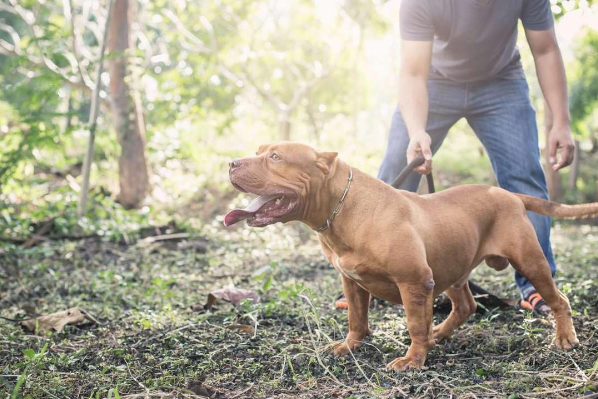 An American pit bull terrier.