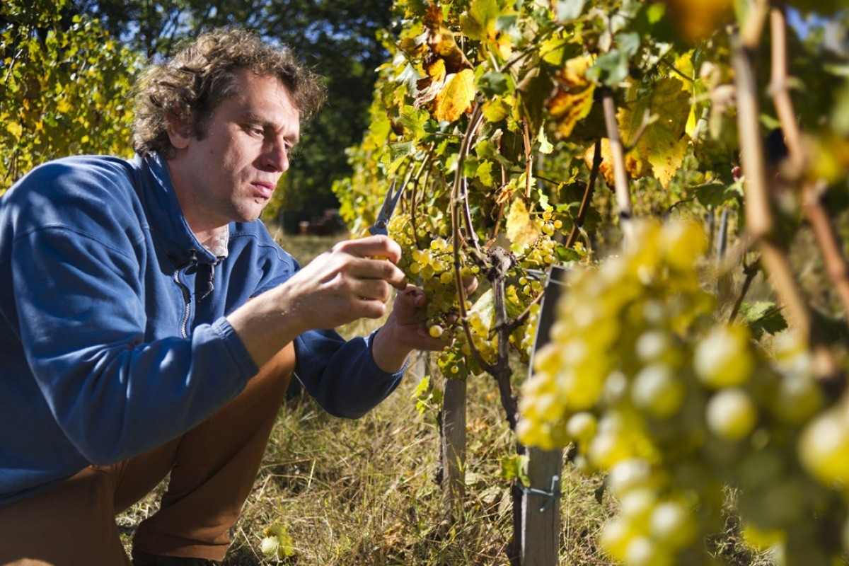 Wine Master Primoz Lavrencicč At Work The Burja Estate Winery Slovenia Produces Some Outstanding