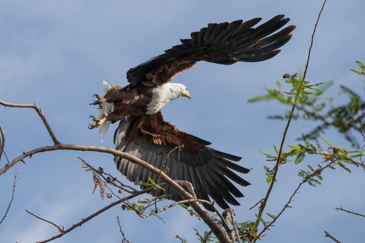 A fish eagle in the Akagera National Park. Pictures: Daniel Allen