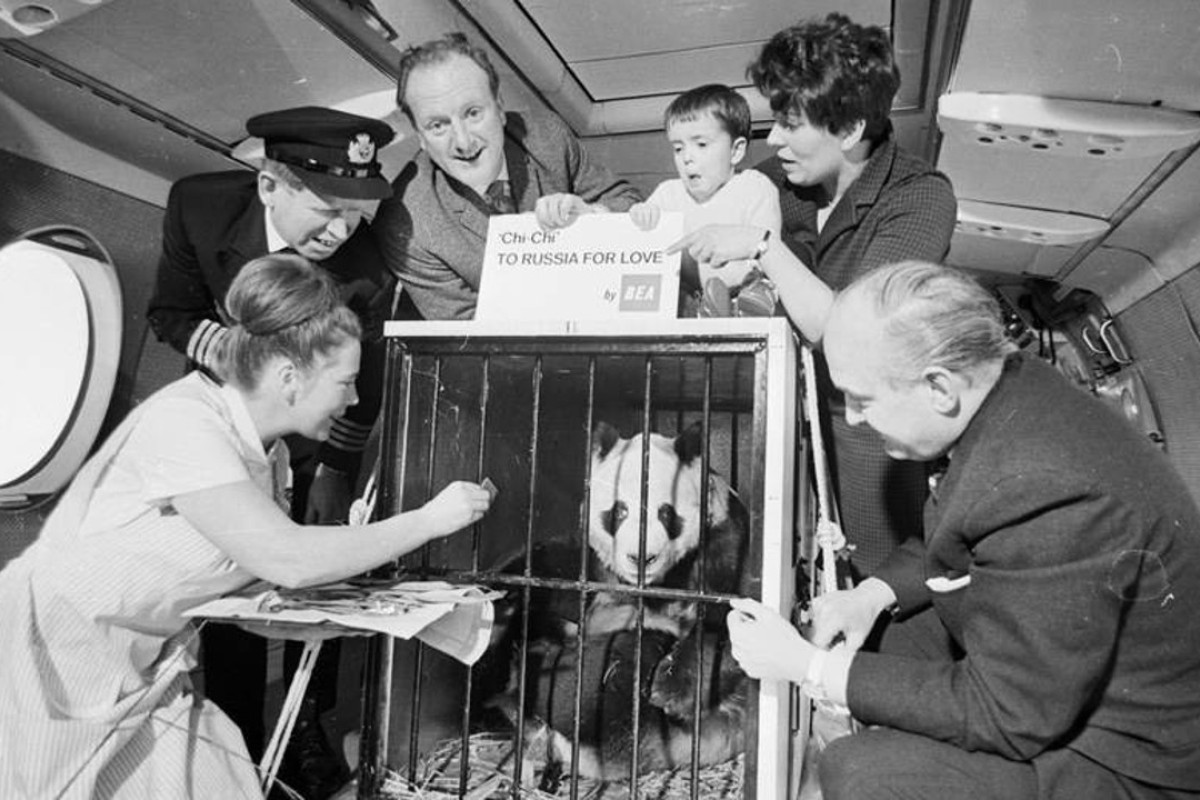 China's female giant panda Chi Chi (above), pictured while being transported aboard an aircraft, became a star attraction in Britain after London Zoo bought her for £12,000 in September 1958.
