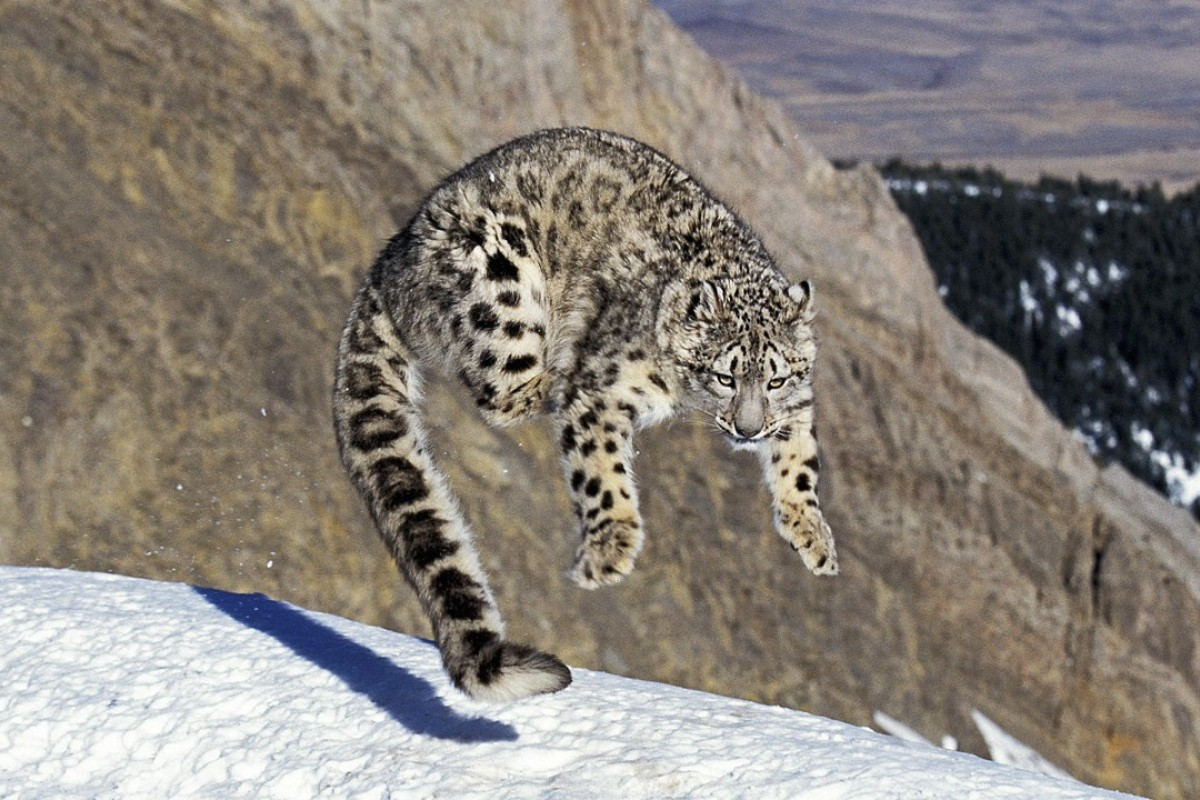 A snow leopard in its natural habitat. Picture: Alamy