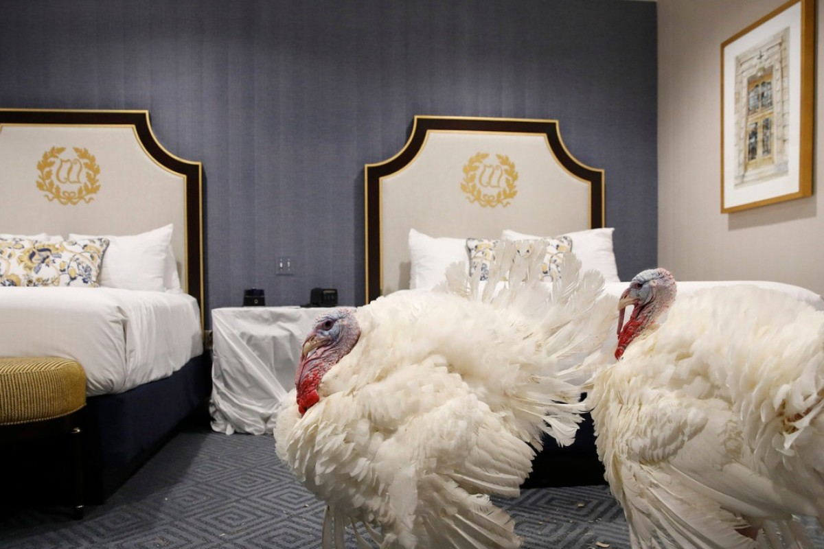 Two turkeys, one weighing 39 pounds (18kg) named Peas, and the other, weighing 41 pounds, named Carrots, relax in a Washington hotel room in the United States after receiving a traditional pardon by the US president, which means they will live safely on a farm – and never be eaten for Thanksgiving. Photo: AP